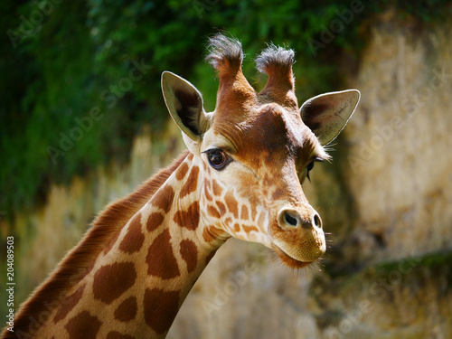 Cadres-photo bureau Girafe Girafe