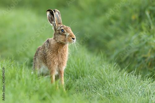 Fototapeta Beautiful Norfolk wild hare sat on grass