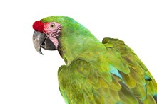 A Military Macaw Close Up Isol...