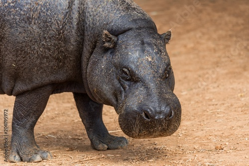 Close up of a pygmy hippopotamus walking on the ground