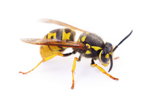 Wasp Isolated On White.