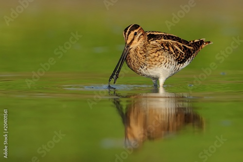 Fototapeta  Common Snipe - Gallinago gallinago wader feeding in the green water, lake
