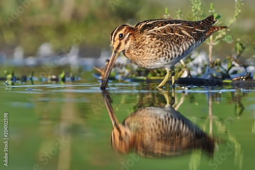 Valokuva  Common Snipe - Gallinago gallinago wader feeding in the green water, lake