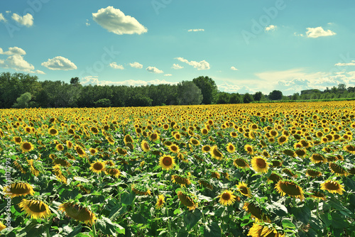 Foto op Canvas Platteland Sunflower field in Provence, France
