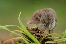 Lesser White-toothed Shrew (Crocidura Suaveolens) On Loam. Little Insect-eating Mammal With Brown Fur Standing On Meadow In Garden.