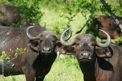Staande foto Buffel Buffels 1