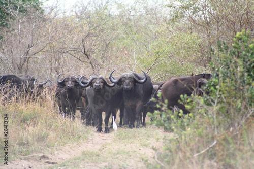 Foto op Aluminium Buffel Buffels 26