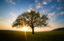 Lonely And Old Oak On Meadow At Sunset