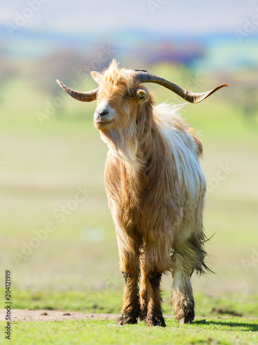 Brown and white billy goat with long fur and horns