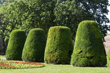 If Commun,Taxus Baccata,