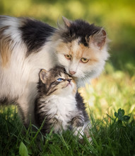 Kitten And It's Momma
