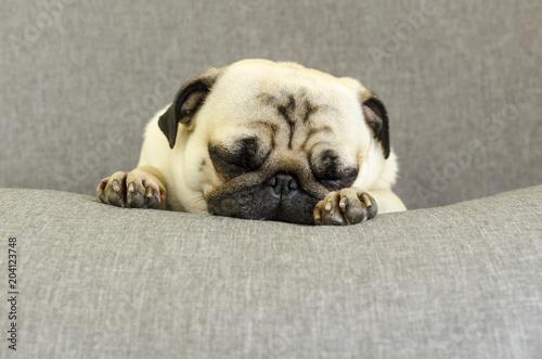 Fotografie, Obraz  cute dog breed pug sleeping on sofa