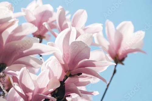 Poster Magnolia Magnolia tree blossom against blue sky