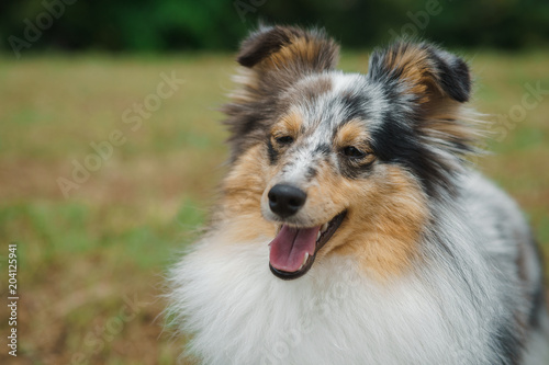 Photo Cute Shetland Sheepdog over natural background