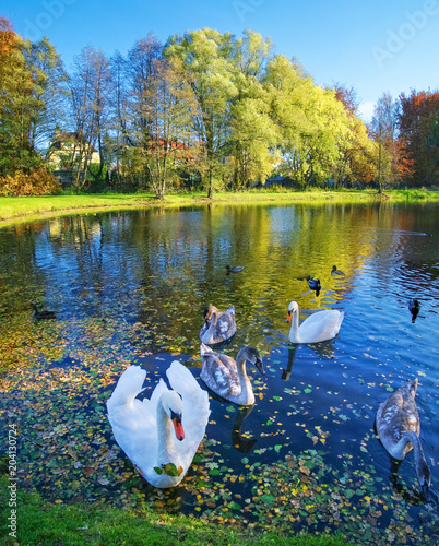 Fototapeta premium White swans swimming on a lake.