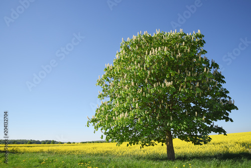 Blossoming chestnut tree on a yellow rape field against the clear blue sky, beautiful landscape with copy space