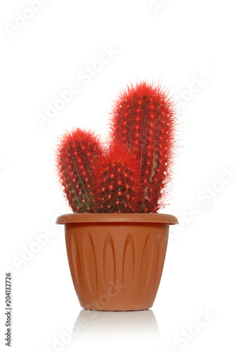Poster Cactus Red fancy cactus with small spines on white background in brown pot