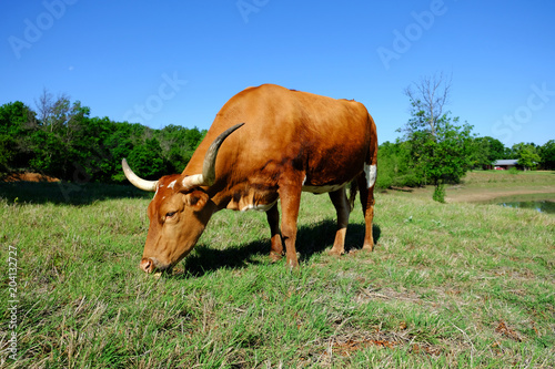 Poster Texas Texas Longhorn cow grazing in summer heat and sun.