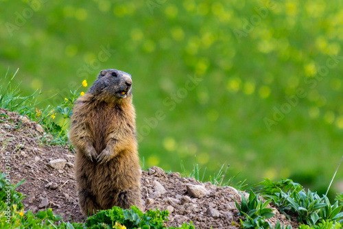 Marmot (Groundhog) standing in alarm position on blossoming pasutre