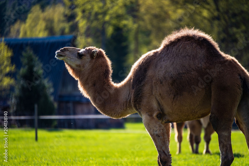 Foto op Canvas Kameel camel walking and feeding in a green field of grass
