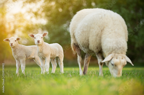 Leinwand Poster cute little lambs with sheep on fresh green meadow