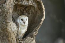 Barn Owl_