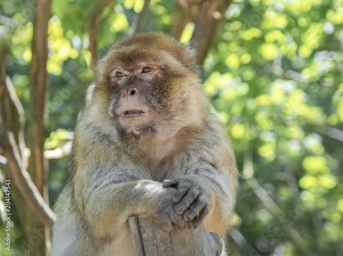 In de dag Aap Nachdenklicher Affe