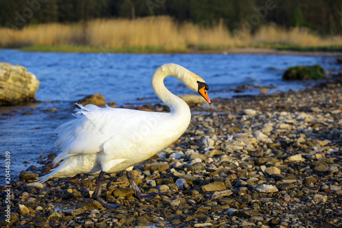 Foto op Canvas Zwaan beautiful white swan by the lake