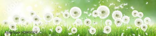 Poster Pissenlit Schöne Pusteblumen