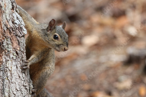 Tuinposter Eekhoorn Grey Squirrel / Wildlife