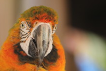 Front Face Portrait Of A Macaw...