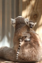 Baby Ring Tailed Lemur On The ...