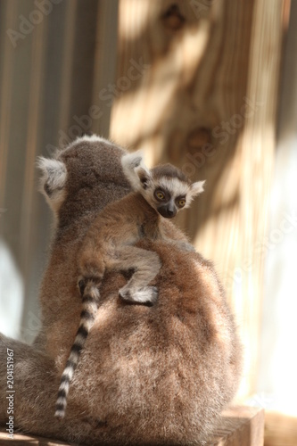 Fotografie, Obraz  Baby Ring Tailed Lemur on the back of his Mother / Madagascar Wildlife
