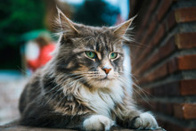 Portrait Of Cat Maine Coon Resting On Stone Wall
