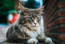 Portrait Of Cat Maine Coon Res...
