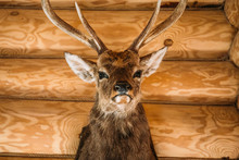Brown Deer Head On Wooden Wall...