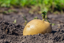 Green Shoots Of Potato Seed Cl...