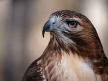 Close Up Portrait Of Red-tailed Hawk