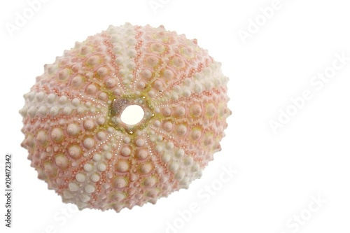 Fototapety, obrazy: Sea urchin. sea urchin shell  isolated on white background.