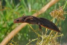 Great Crested Newt (Triturus C...