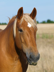 Chestnut Horse Head Shot