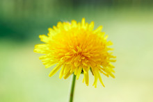 Yellow Dandelion Close-up, Flowers Close-up, Yellow Color,