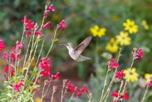 Anna's Hummingbird Hovering Mi...