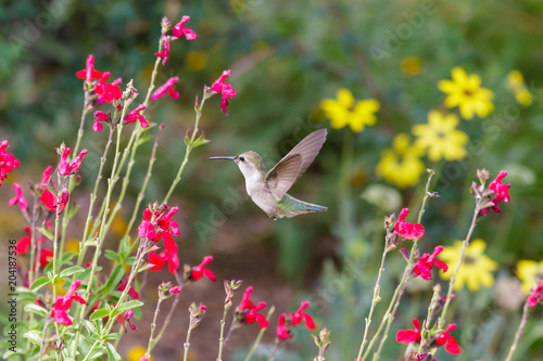 Anna's Hummingbird hovering mid flight, feeding on bright red flowers, in Arizona's Sonoran desert Poster