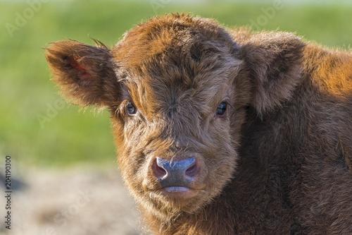 Highland Cattle (Bos primigenius taurus), Calf, Animal portrait, Henne Strand, Region Syddanmark, Denmark, Europe