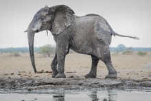 African Elephant (Loxodonta Africana), After A Mud Bath At The Waterhole, Nxai Pan National Park, Ngamiland District, Botswana, Africa