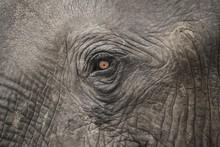 African Elephant (Loxodonta Af...