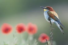 Bee-eater (Merops Apiaster), S...