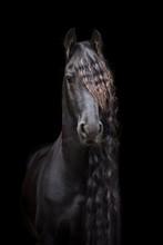 Friesian Horse Standing Black ...