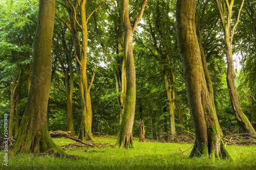 Old beech forest, beech forest with dead wood, Jasmund National Park, Island of Rugen, Mecklenburg Vorpommern, Germany, Europe